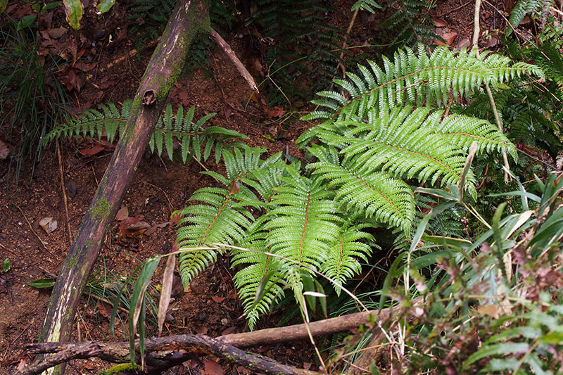 Polystichum polyblepharum ©Harum Koh-Flickr (Creative Commons)