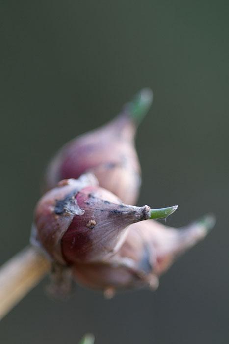Bulbes aériens de l'oignon rocambole ©t_buchtele-Flickr (Creative Commons)